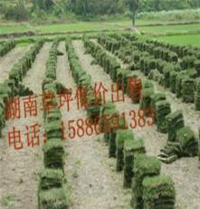 马尼拉草皮--草皮常青--中山草皮价格