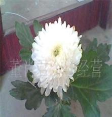 鲜切花,菊花