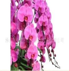蝴蝶兰、兰花、花卉