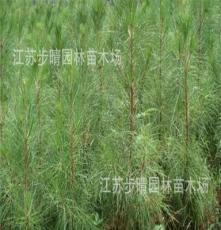 基地批发绿化苗木供应 湿地松 五针松 黑松苗等花卉种子种苗批