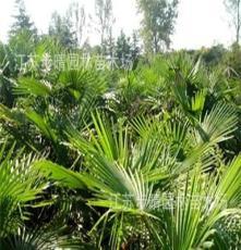 供应棕榈类植物 1米棕榈小苗 1.5以上棕榈树 芭蕉树等