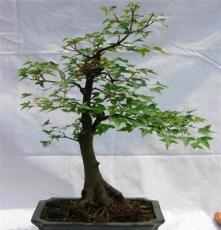 三角枫,枫树,小苗,盆景,盆栽,室外,槭树,树桩,送礼佳品