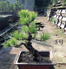 锦松 锦松盆景 庭院盆景 盆栽 四季常青 松树 松柏类 嫁接