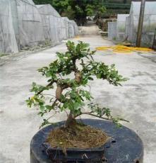 榔榆,榆树,小叶榔榆,盆景,盆栽,造型,送礼佳品,美观,