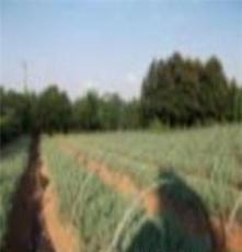供应雪松种苗15-25公分雪松小苗 雪松种苗