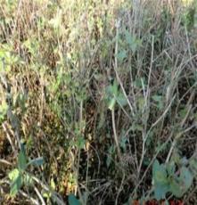基地直销四季树形金银花种苗