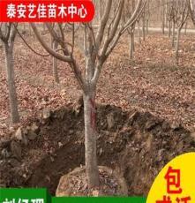 山东泰安苗木基地大量批发绿化苗木 优质樱花