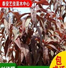 紫叶李出售