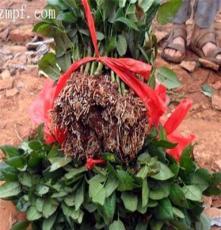 各种玫瑰种苗 云南一年嫁接玫瑰小苗 全国超低价批发玫瑰花苗