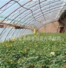 绿化工程月季苗批发 云南种苗公司 云南花卉种苗基地 花卉种子