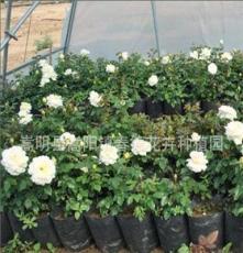 月季苗低价批发 扦插月季种苗 昆明玫瑰花苗 花卉苗基地批发月季