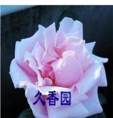 庭院盆栽盆栽花卉 白色肯尼迪 高檔月季花苗 香水型