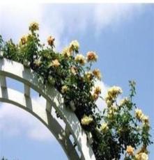 藤本月季花苗 盆栽[金獎章]點開看多種圖片(花卉 種苗)