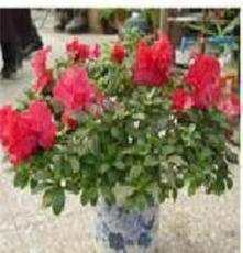 紅花綠葉  杜鵑花 盆栽植物盆景花卉