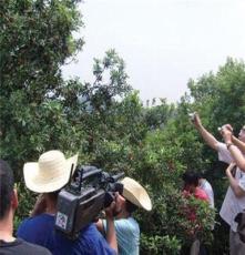 鹏源花卉 供应高峰杨梅果树 销售各种规格果树 量大优惠