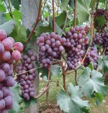 鵬源花卉 供應各種工程綠化苗 基地直銷 果樹 玫瑰香葡萄