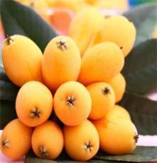 鵬源花卉 供應枇杷果樹 銷售各種規格果樹 量大優惠