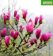出售紫玉兰 庭院植物 广玉兰苗 庭院花卉苗木玉兰树苗