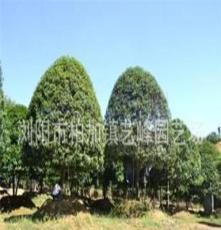 桂花樹銷售 綠化苗木 廠價直銷