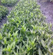 成都崇德园林提供各类乔木灌木 精品花卉 欢迎实地考察