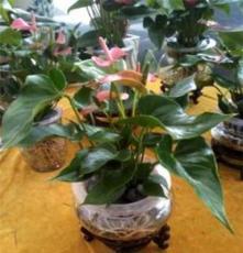 低价供应室内观花植物 粉冠军