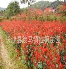 供应绿化苗木 灌木类 红叶石楠 红叶石楠苗 球 规格齐全