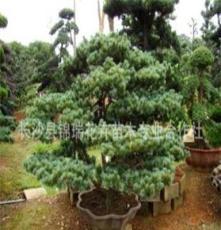 大量供应绿化苗木五针松盆景