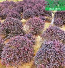 供应湖南苗木 红花继木球形常绿小灌木别墅庭院绿化 基地直销