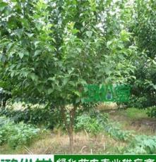 绿化苗木樱桃 胸径4-12公分 湖南基地批发直销 跳马柏加大量现货