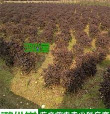 [湖南绿化苗木]精品红花檵木球 50-100公分 长沙产地直销规格齐全