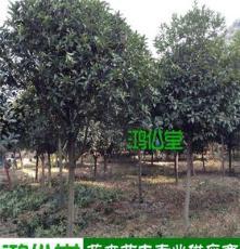 [綠化苗木]長沙苗圃供應丹桂樹 5-10公分 基地直銷 綠化工程用樹