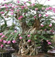 湖南长沙新卓苗圃供应 古桩紫微 树形优美价格便宜园林绿化苗木