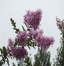湖南长沙 乔木紫薇树 工程苗木 景区 道行 红花紫薇、小苗