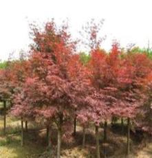 大量供应绿化苗木--3--30公分红枫 欧洲黄枫 挪威黄金槭
