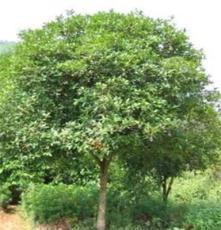 供应绿化苗木--香樟