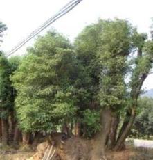大量供应绿化苗木--移栽香樟