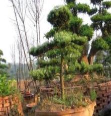 供應羅漢松盆景--造型羅漢松--日本羅漢松
