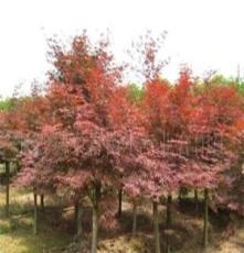 大量供應綠化苗木-- 紅楓 高接紅楓 日本紅楓 挪威黃金槭