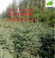 甘肅千畝云杉 1米2米3米云杉自家綠化苗木批發