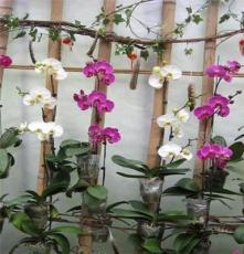 蝴蝶兰、观花植物、花