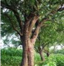 樸榆 綠化苗木