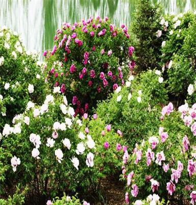 绿化工程项目专用牡丹树,70-110cm,价格感人,保证效果