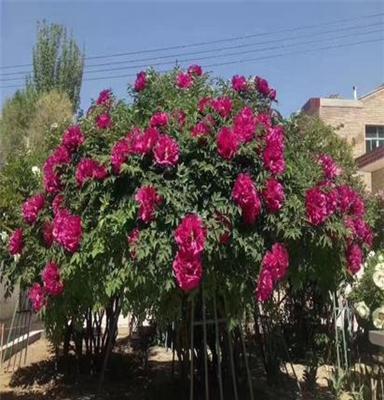 甘肃百年牡丹树 身份的象征,吉祥富贵