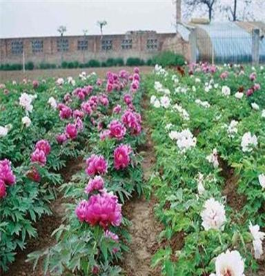 甘肃紫斑牡丹种苗,厂家生产基地直销,没有中间商赚差价
