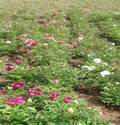 甘肃优质紫斑牡丹种苗,价格便宜,量大从优,可选花色及品种