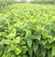 厂家直销 桂桑优桑种苗 成活率高 价格优惠批发