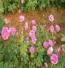 供应花卉种苗玫瑰花种苗