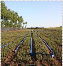 供应绿化工程用苗 一年生云杉种苗10cm