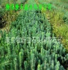 康禾苗木低价供应一年生云杉种苗15-20cm