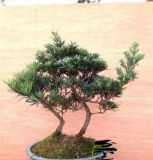 罗汉松,小叶罗汉松,雀舌罗汉松,盆景盆栽,送礼佳品,实物销售